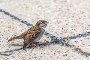 Sparrow With A Broken Wing